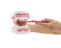 Händer undervisar modellen av käkar och en tandborste arkivbilder
