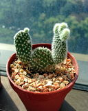 2 händer up kaktuns Arkivfoton