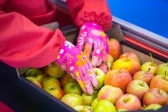 Händerna av anställd som packade äpplena in i en papp royaltyfria foton