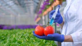 Händerna av en forskarebiolog i blå handskenärbild Agronomen introducerar en blå flytande in i en tomat med a stock video