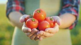 Händerna för bonde` s rymmer saftiga röda tomater Nya grönsaker från lantbruk royaltyfria foton
