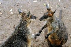 Händeschütteln mit zwei Kängurus Lizenzfreies Stockfoto