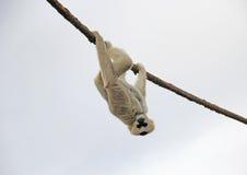 Hänga för apa för vuxen människaMadagascar maki som är uppochnervänt från rep på en molnig dag Arkivbilder