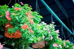Hänga för blomma Royaltyfri Foto