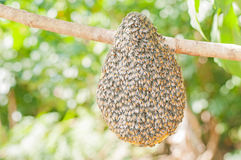 Hänga för honungsbisvärm Royaltyfri Foto