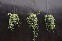 Hänga för hus och inomhus garnering, Dischidia nummularia en epiphytic växt royaltyfria foton