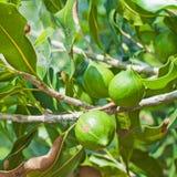 hänga för macadamiamuttrar Royaltyfria Bilder