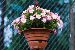 Hänga för rosa färgblomma Arkivfoton