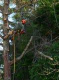 Hängande bitande lemmar för trädskärare från träd Arkivbilder