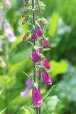 Hängande blommor, digitalis Arkivfoton