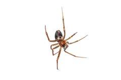 Hängande buk för spindel Arkivfoto