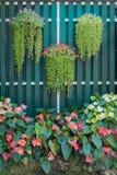 Hängande buskar för blomkruka- och flamingoblommakolv med trägrön staketbakgrund Härligt ljust - signal för grön och röd färg Arkivfoton