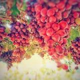 Hängande druvor i en vingård Royaltyfri Foto