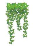 Hängande filialer av murgrönan Royaltyfria Foton