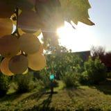 Hängande härliga grupper av druvor utomhus i lantligt arkivfoto