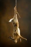 Hängande hare Arkivfoton