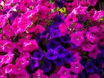 Hängande korg av blommor Arkivfoton