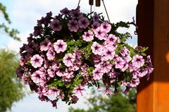 Hängande korg för Petunia. royaltyfri fotografi
