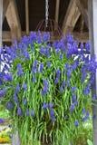 Hängande korg med blåa blommor Arkivbilder