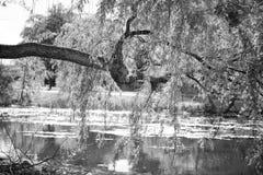 hängande limb Royaltyfri Bild