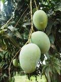 Hängande mango tätt upp fotografering för bildbyråer