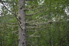Hängande mossa på träd Arkivfoton