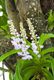 hängande orchidstree Arkivfoton