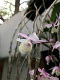 Hängande orkidé i trädgården Arkivbild