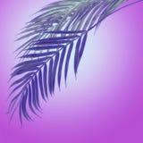 Hängande palmblad på bakgrund för lutning för purpurfärgade neonfärger radiell Idérik tropisk orientering arkivfoton