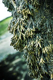 hängande seaweed Royaltyfria Bilder