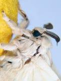 hängande silkworm för fjärilskokong Royaltyfri Foto