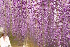 Hängande trädgård för härlig Wisteria i Japan i vår royaltyfri foto