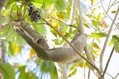 Hängande Tre-toed sengångare Royaltyfri Fotografi