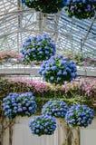 Hängande vanliga hortensior - Longwood trädgårdar - PA Royaltyfri Fotografi