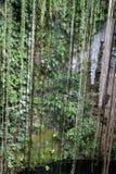 hängande vines för cenote Arkivfoto