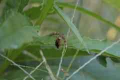 Hängande Wasp Arkivbilder