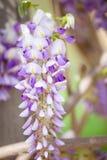 hängande wisteria Royaltyfri Foto