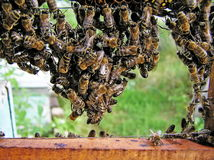 Hängen der Bienen. Lizenzfreies Stockfoto