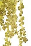 hängen som hamging oaken Royaltyfri Foto