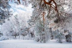 Hängende Kieferzweige unter Schnee Lizenzfreies Stockfoto