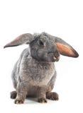 Hängende Ohren Stockfotografie