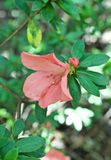 Hängende rosa Blume lizenzfreie stockbilder