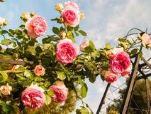 Hängende Rosen Stockbild