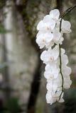 Hängende weiße Orchideen Stockbilder