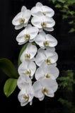 Hängende weiße Orchideen Lizenzfreies Stockfoto