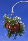 Hängende weiße Petunie-Blume Lizenzfreie Stockfotografie