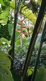 Hängender Hummer kratzen Heliconia-rostrata alias falsches Vogel-vonparadies Lizenzfreie Stockbilder