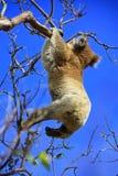 Hängender Koala lizenzfreies stockbild