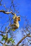 Hängender Koala lizenzfreies stockfoto