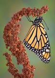 Hängender Monarch lizenzfreie stockfotos